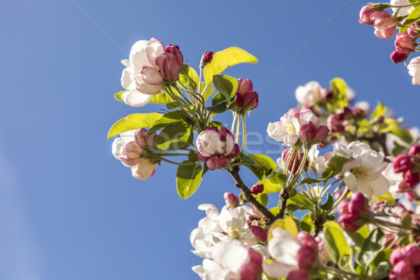 blooming cherry tree Stock photo © meinzahn