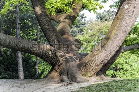 Stock photo: stem of oak trees in fascinating light in a park in Vienna