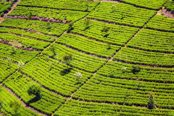 Groene thee plantage Sri Lanka glimlach werk natuur Stockfoto © meinzahn