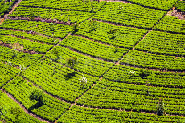 зеленый чай плантация Шри Ланка улыбка работу природы Сток-фото © meinzahn