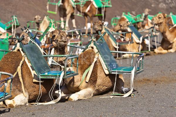 ストックフォト: ラクダ · 公園 · 観光客 · 砂漠 · 旅行
