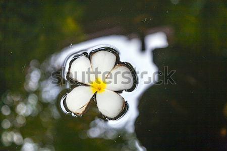 Plumeria blossom (Frangipani) is swimming in the water Stock photo © meinzahn