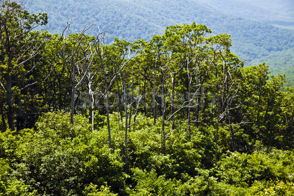 Beautiful forest in the popular Blue Ridge  Mountains Stock photo © meinzahn