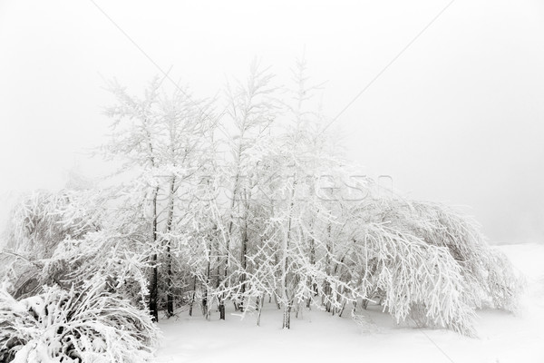 Pin arbres neige blizzard montagnes arbre Photo stock © meinzahn