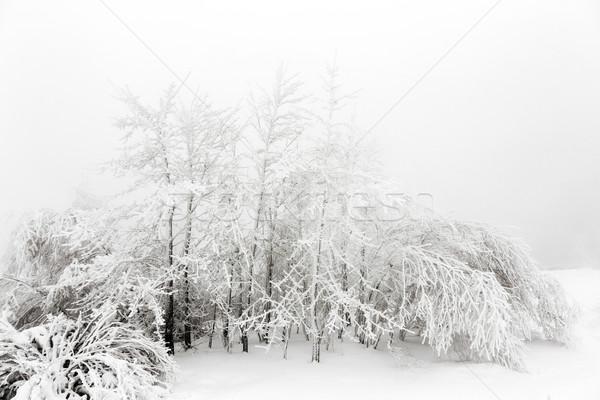 çam ağaçlar kar kar fırtınası dağlar ağaç Stok fotoğraf © meinzahn