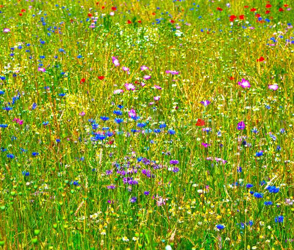 красочный Полевые цветы луговой весны любви природы Сток-фото © meinzahn