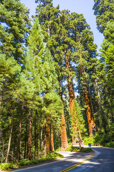 the famous big sequoia trees are standing in Sequoia National Park, Giant village area , big famous  Stock photo © meinzahn
