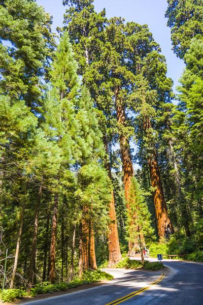 Famoso grande sequóia árvores em pé parque Foto stock © meinzahn