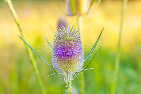 Piękna dziki kwiat łące wiosną liści piękna Zdjęcia stock © meinzahn