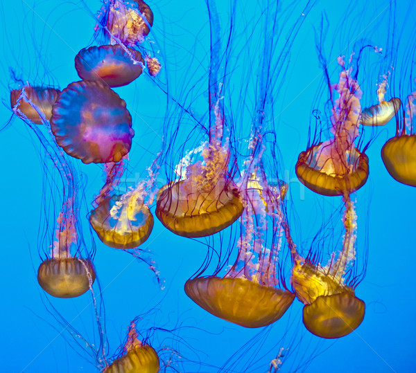jelly fish in the blue ocean Stock photo © meinzahn