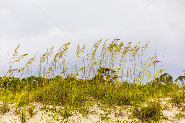 Stock photo: grass  grows at the beach in Sand dunes