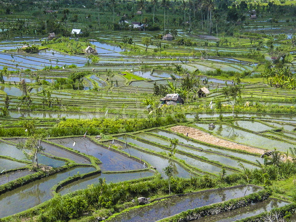 Rice paddies in Bali Indonesia  Stock photo © meinzahn