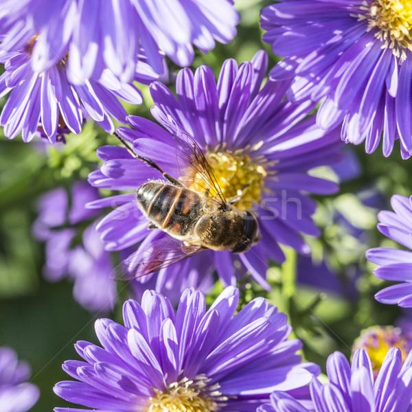 Violeta outono abelha pólen jardim Foto stock © meinzahn