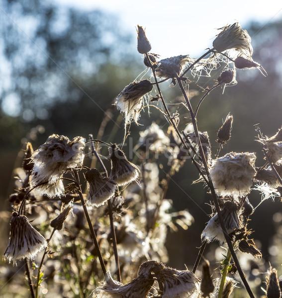 Net reggel fény vadvirágok legelő Stock fotó © meinzahn