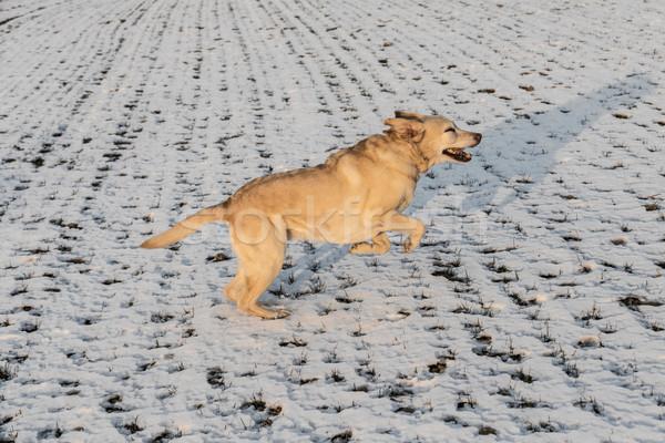 Giovani labrador cane neve coperto campo Foto d'archivio © meinzahn