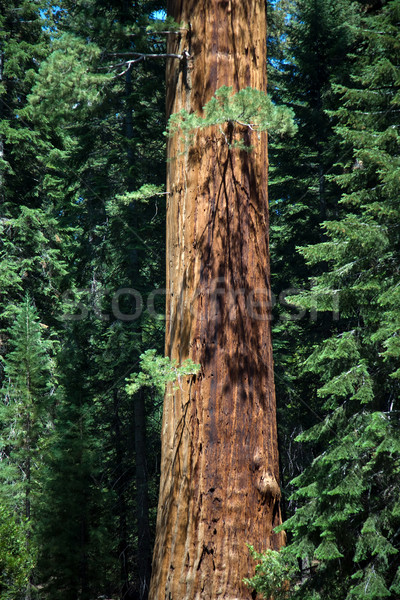 Słynny duży sekwoja drzew stałego parku Zdjęcia stock © meinzahn