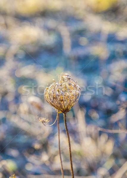 Stock photo: frozen plants in meadow  in wintertime