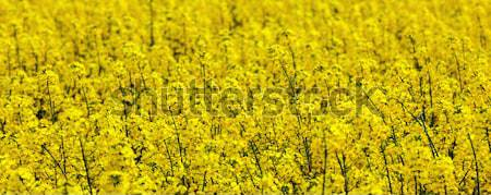 pattern of yellow rape field Stock photo © meinzahn