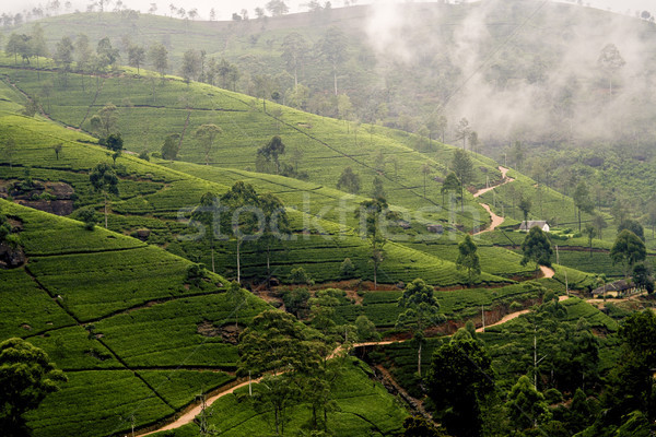 green tee terrasses in the highland from Sri Lanka in fog   near Stock photo © meinzahn