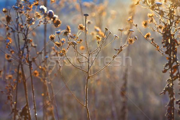 frozen plants in meadow with backlight in wintertime Stock photo © meinzahn