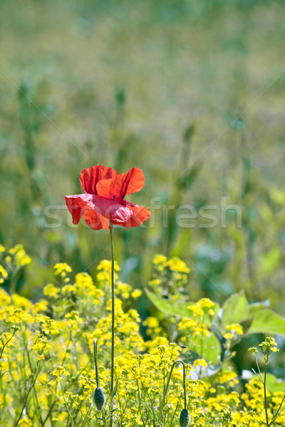 poppy flower in rape field  Stock photo © meinzahn