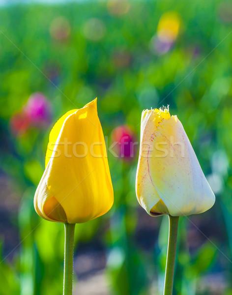 Dois tulipas harmonia amor campo páscoa Foto stock © meinzahn
