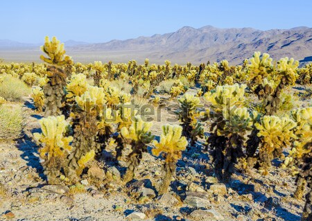 beautiful Cholla Cactus Garden in Joshua Tree national park  Stock photo © meinzahn