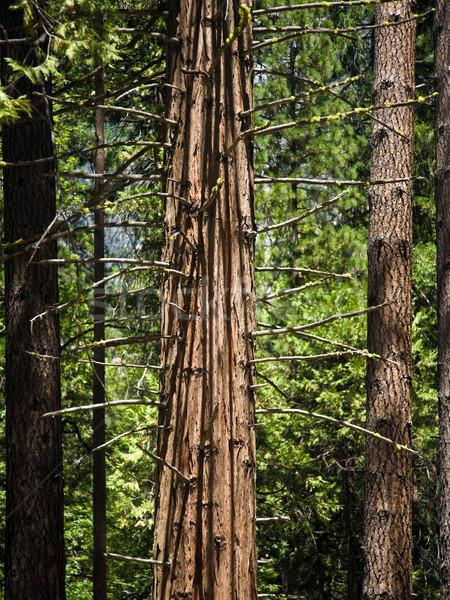 Bomen detail romantische vallei yosemite national park bos Stockfoto © meinzahn