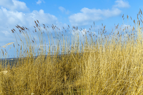 reeds of grass with blue sky  Stock photo © meinzahn