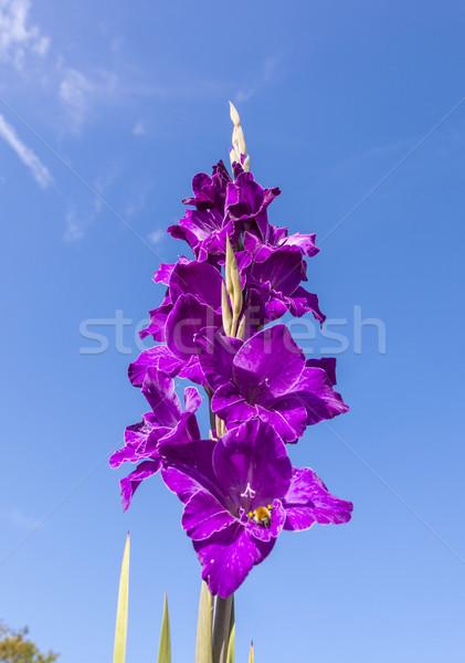beautiful flowers in the meadow  Stock photo © meinzahn