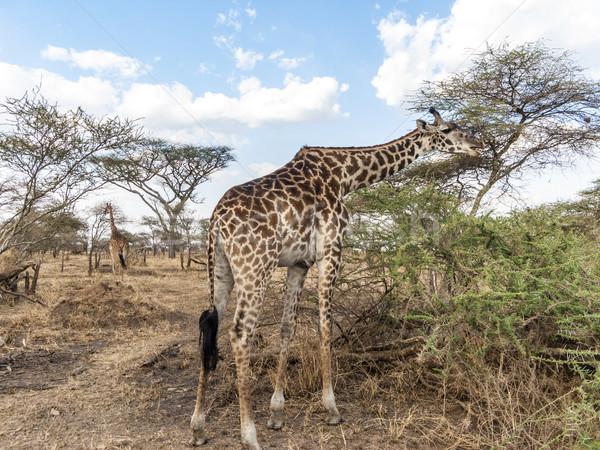 Zsiráf külső étel fák Serengeti Tanzánia Stock fotó © meinzahn