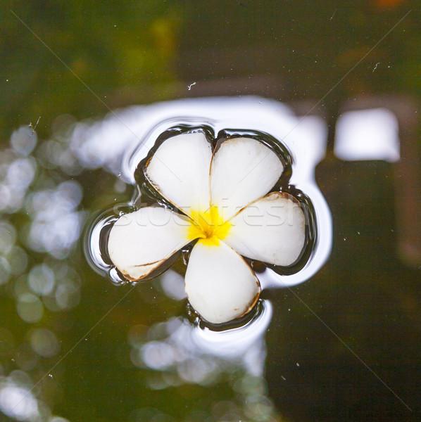 Plumeria flower (Frangipani) floating in the water Stock photo © meinzahn