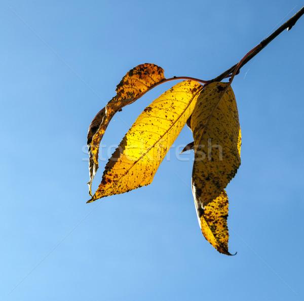 Jaune suspendu arbre ciel bleu nature Photo stock © meinzahn