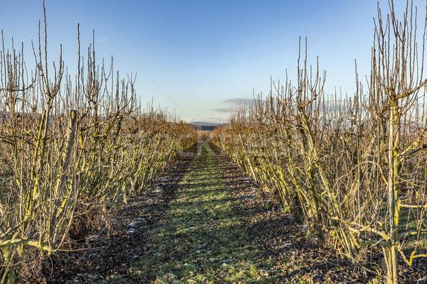 Elma ağaçlar kış alan mavi gökyüzü Stok fotoğraf © meinzahn