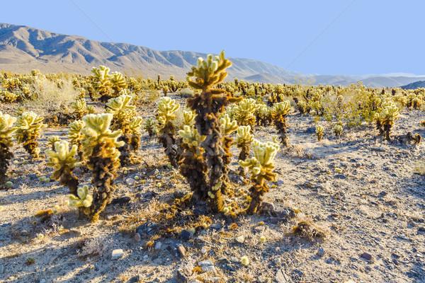 beautiful Cholla Cactus Garden in Joshua Tree national park  Stock photo © meinzahn