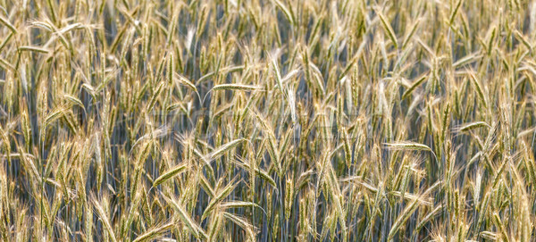 Maïs domaine lance belle eau feuille Photo stock © meinzahn