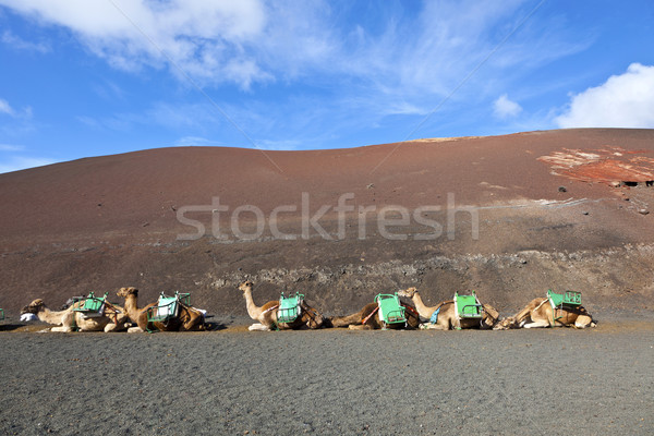 camels at Timanfaya national park wait for tourists for a guided Stock photo © meinzahn