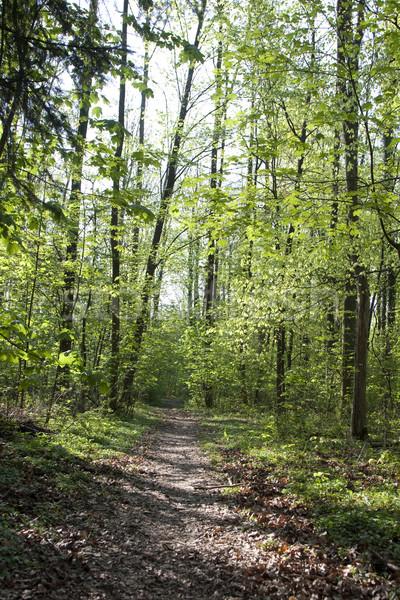 trail thru narrow trees in forest  Stock photo © meinzahn