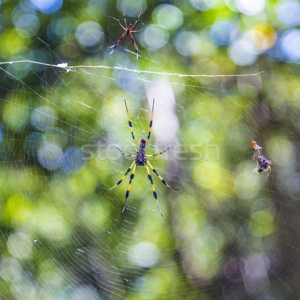 Giant wood spider the Golden Orb Weaver or Banana Spider Stock photo © meinzahn