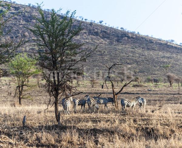 zebras in the serengeti national park Stock photo © meinzahn