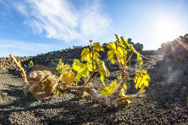 виноградник острове растущий вулканический почвы вино Сток-фото © meinzahn