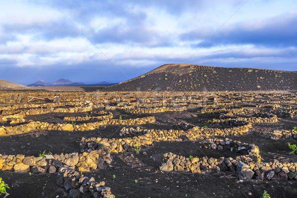 beautiful grape plants grow on volcanic soil in La Geria Stock photo © meinzahn