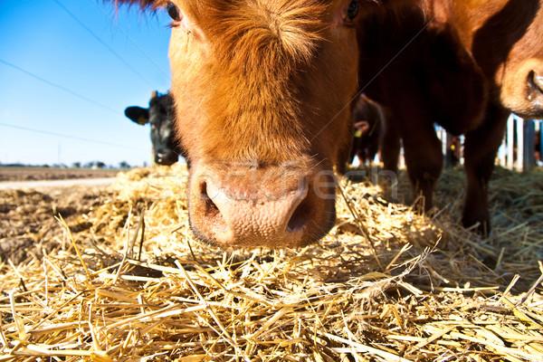 friendly cattle on straw Stock photo © meinzahn