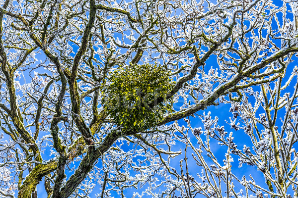 mistletoe in the tree Stock photo © meinzahn