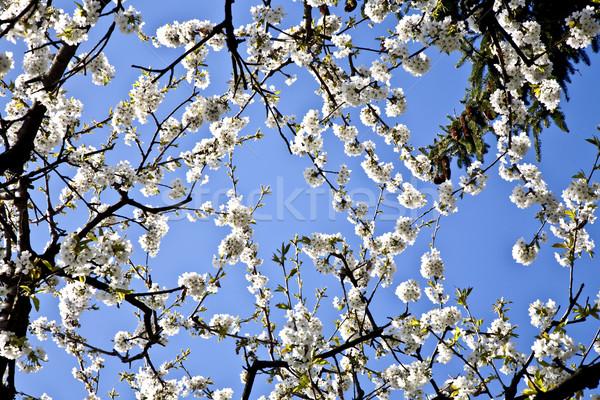 Ramo florescer primavera branco céu Foto stock © meinzahn