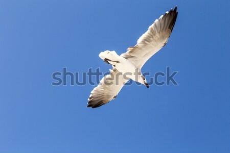 Gaviotas vuelo cielo azul azul naturaleza Foto stock © meinzahn