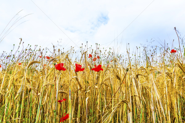 Poppy flowers with blue sky and clouds on the meadow Stock photo © meinzahn