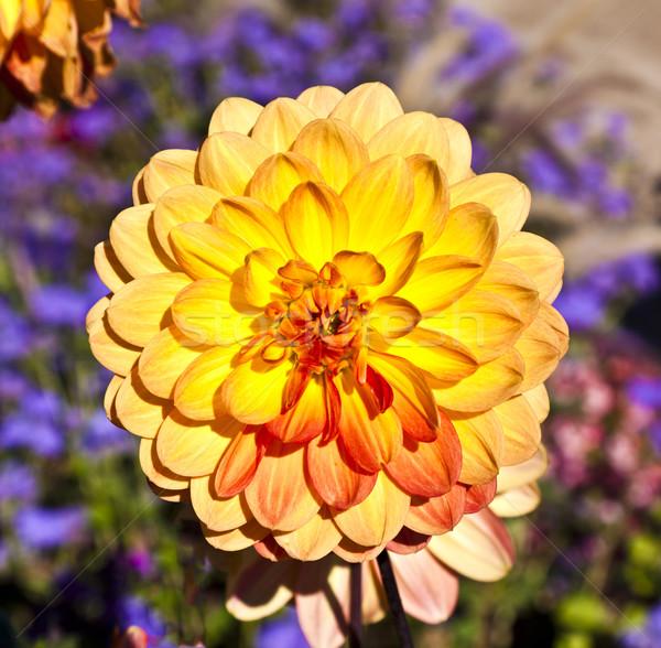 美しい ダリア 花壇 春 自然 ストックフォト © meinzahn