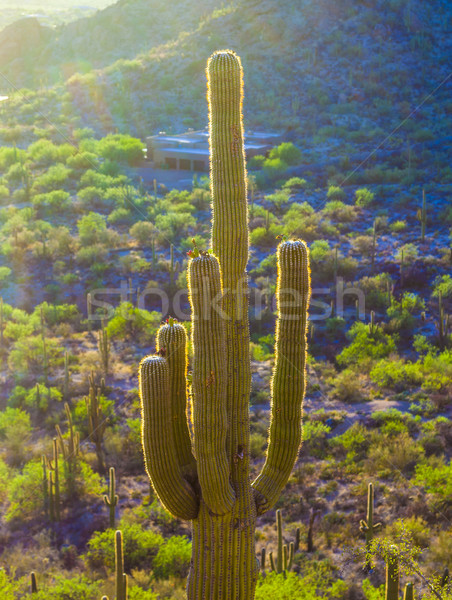 sunset with beautiful green cacti in landscape  Stock photo © meinzahn