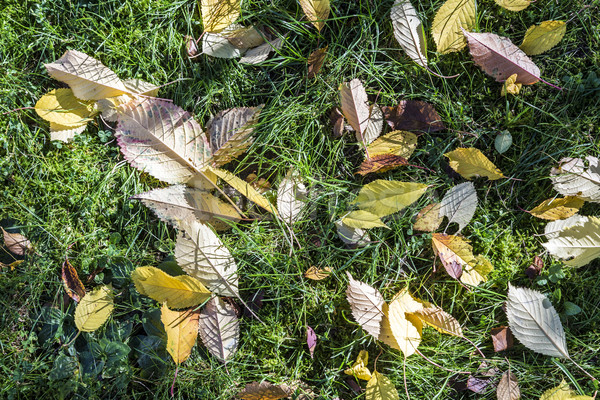 colorful fallen leaves lying in the green grass  Stock photo © meinzahn
